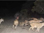Clip: Sư tử chết thảm vì bị hà mã cắn trúng đầu