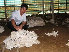 Quảng Bình trồng thử nghiệm giống nấm mới cho năng suất cao