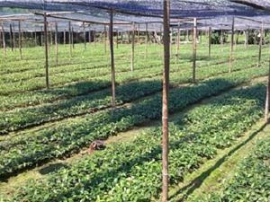 Hướng dẫn cách chọn giống và trồng quế Văn Yên