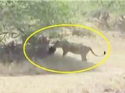 Clip: Khỉ chết thảm dưới nanh vuốt đàn sư tử