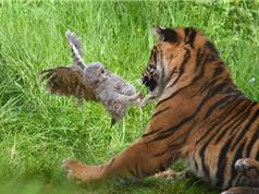 Cú con tung cước vào mặt hổ
