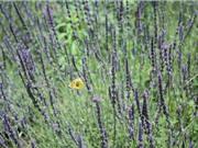 Cận cảnh vườn hoa oải hương tím biếc giữa trung tâm Đà Lạt