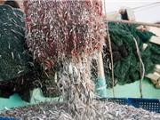 Quá trình chuẩn bị nguyên liệu để sản xuất nước mắm Phú Quốc
