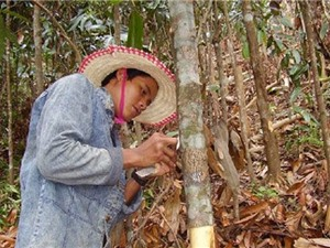 Công đoạn chăm sóc cây quế Văn Yên