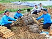 Công đoạn khai thác và bảo quản quế Văn Yên
