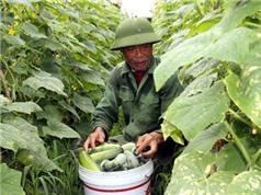 Khánh Hồng phát triển cây dưa hàng hóa