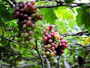 Đặc điểm về giống và sinh thái của cây nho Ninh Thuận