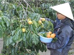 Công đoạn thu hoạch, bảo quản và khử chát cho hồng không hạt Bắc Kạn
