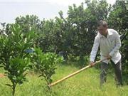 Công đoạn chuẩn bị đất và trồng bưởi Phúc Trạch