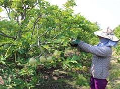Công đoạn tạo vườn và làm đất trồng mãng cầu Bà Đen