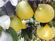 Đặc tính lý, hóa của quả bưởi Phúc Trạch