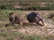 CLIP ĐỘNG VẬT ĐẠI CHIẾN ẤN TƯỢNG NHẤT TUẦN: Hà mã cắn chết sư tử, heo rừng tấn công cá sấu