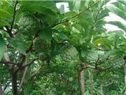 Những yếu tố về địa hình, thổ nhưỡng ảnh hưởng đến cây mãng cầu Bà Đen