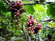 Các tính chất đặc thù của nho Ninh Thuận
