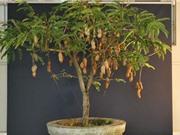 Kỹ thuật trồng cây me Thái tại nhà cho quả sai chi chít