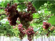 Ảnh hưởng của điều kiện thổ nhưỡng đến chất lượng nho Ninh Thuận