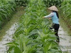 Quy trình trồng và chăm sóc thuốc lào Tiên Lãng