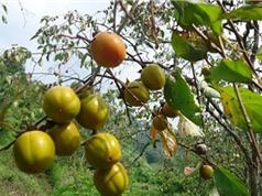 Đặc điểm sinh thái của giống hồng không hạt Bảo Lâm