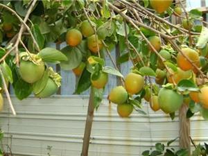 Ảnh hưởng của điều kiện khí hậu tới chất lượng hồng không hạt Bảo Lâm
