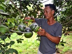 Công đoạn thu hoạch và bảo quản bưởi Tân Triều