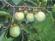 Các tính chất đặc thù của hồng không hạt Bảo Lâm