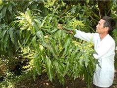 Công đoạn chọn giống, trồng và chăm sóc xoài Yên Châu