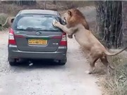 """Clip: Sư tử """"nổi điên"""" đòi """"xơi tái"""" cả ô tô"""