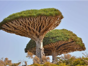 Kỳ bí sự tích ra đời của loài cây máu rồng
