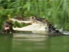 Clip: Cá sấu kịch chiến đẫm máu với đàn rái cá