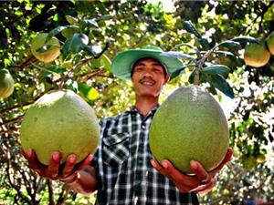 Hướng dẫn trồng và chăm sóc bưởi Năm Roi Bình Minh