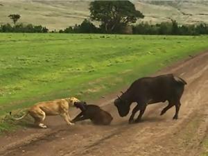 """Clip: Hai con sư tử """"xử đẹp"""" bầy trâu rừng"""