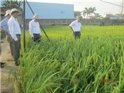 Giống lúa nếp lai 3 dòng đầu tiên ở Việt Nam