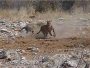 """Clip: Sư tử """"đánh đập vợ"""" dã man để cướp mồi"""