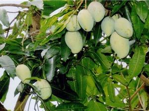 Kỹ thuật giúp xoài cát Hòa Lộc ra quả trái mùa