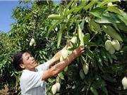 Kỹ thuật trồng và chăm sóc xoài cát Hòa Lộc