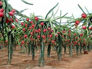 Kỹ thuật trồng thanh long Bình Thuận