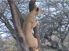 Clip: Choáng với màn leo cây săn khỉ siêu nhanh của sư tử