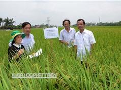 Nhiều tín hiệu vui về công nghệ cấy lúa theo hiệu ứng hàng biên