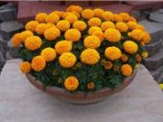 Quy trình trồng và chăm sóc hoa cúc vạn thọ