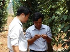 Bà Rịa - Vũng Tàu mở rộng kênh trồng tiêu sạch