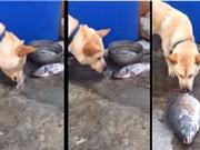 Clip: Chó dùng mũi tát nước để cứu cá