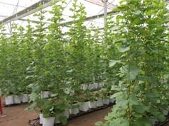 Đồng Nai: nghiên cứu chế phẩm phòng và trị bệnh trên cây dưa lưới
