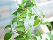 Kỹ thuật trồng và chăm sóc dây lá giang xanh tốt quanh năm