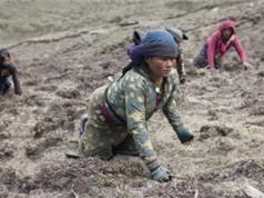 """Cơ cực cảnh săn """"sâu vàng"""" trên Himalaya của người Nepal"""