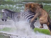 """CLIP ĐỘNG VẬT ĐẠI CHIẾN ẤN TƯỢNG NHẤT TUẦN: Ngựa vằn ác chiến đẫm máu với sư tử, hổ săn nai """"thần tốc"""""""
