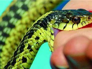 Clip: Cách sơ cứu khi bị rắn độc cắn