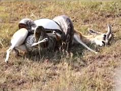 Clip: Pha săn giết linh dương ấn tượng của trăn khổng lồ