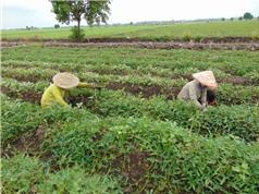 Trồng khoai lang trên đất lúa thu lãi trên 10 triệu đồng/công