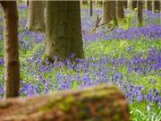 Cận cảnh vẻ đẹp của rừng hoa chuông xanh ở Bỉ