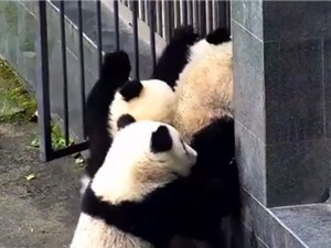 """Clip: Đàn gấu trúc rủ nhau """"đào tẩu"""" khỏi vườn thú"""